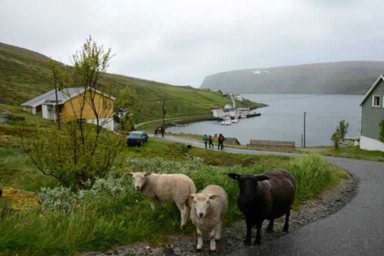 Vi møtte flere sauer enn mennesker da vi gikk gjennom Akkarfjord © Knut Hansvold