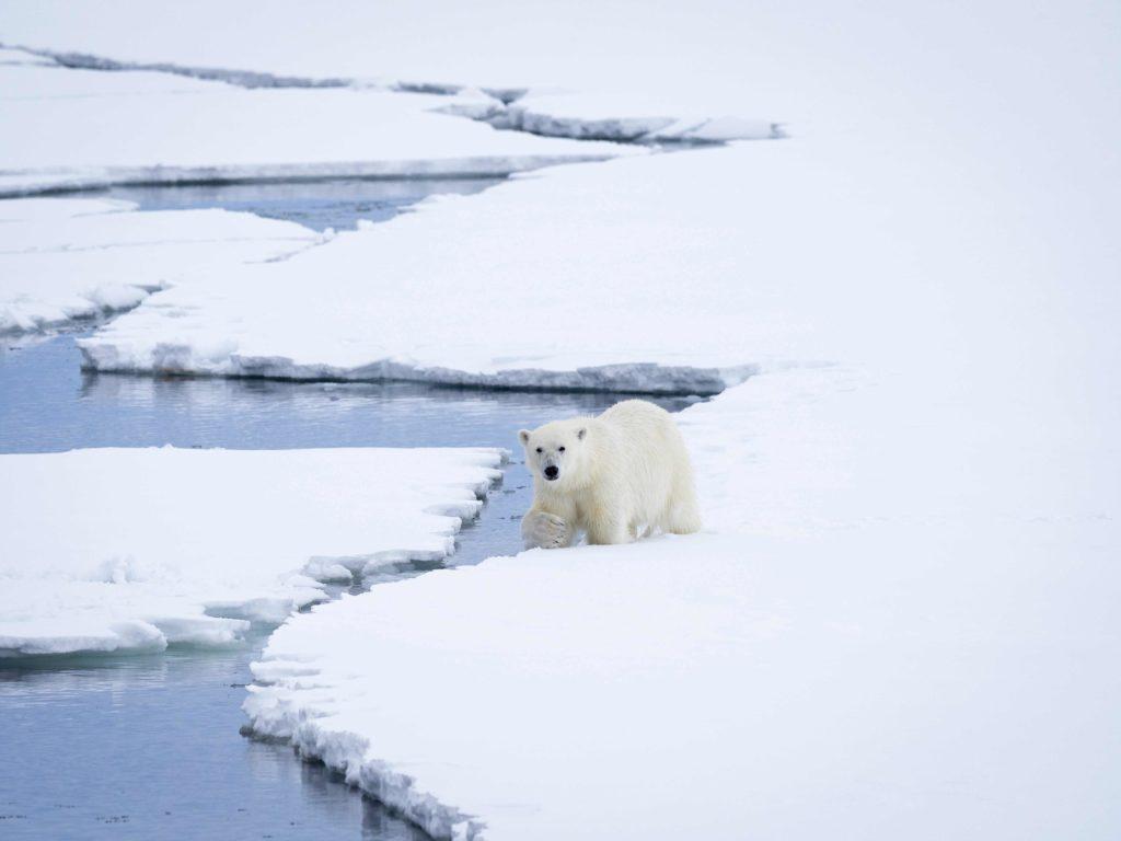 Isbjørn på Svalbard er også et faremoment på topptur