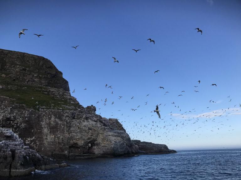Fuglefjellet Syltefjordstauran er Norges største krykkjekoloni © FotoKnoff