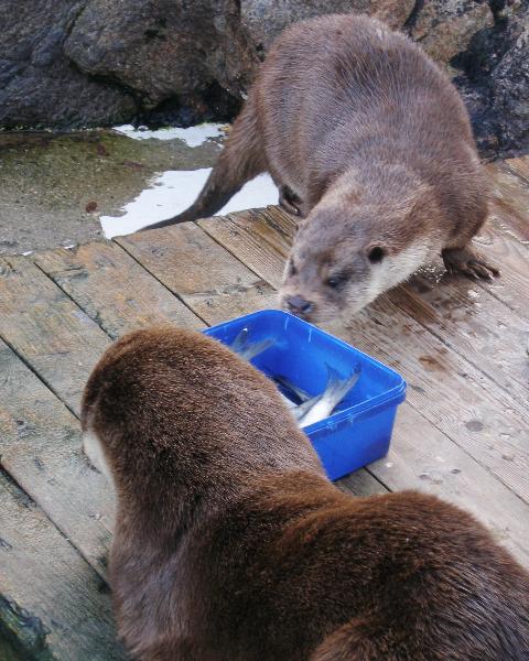 Otters ready for dinner time © Lofotakvariet
