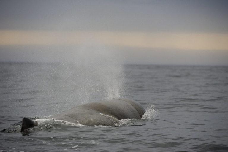 Noen minutter ligger hvalen i vannskorpa og henter seg inn © Marten Bril
