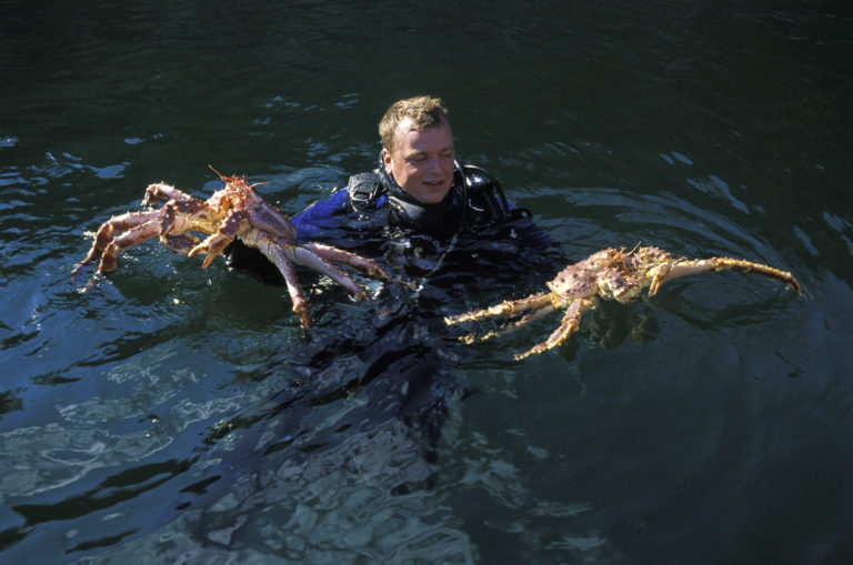 Divers harvest king crabs where they're crawling around on the seafloor.
