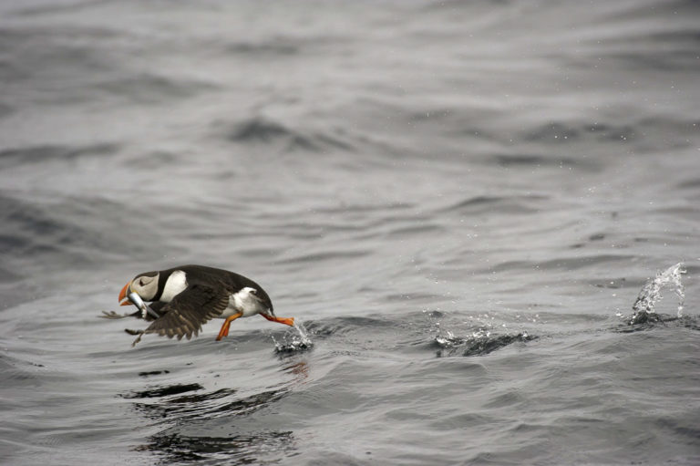 Kjapt ned i havet for å finne sildeyngel, og så opp igjen © Marten Bril