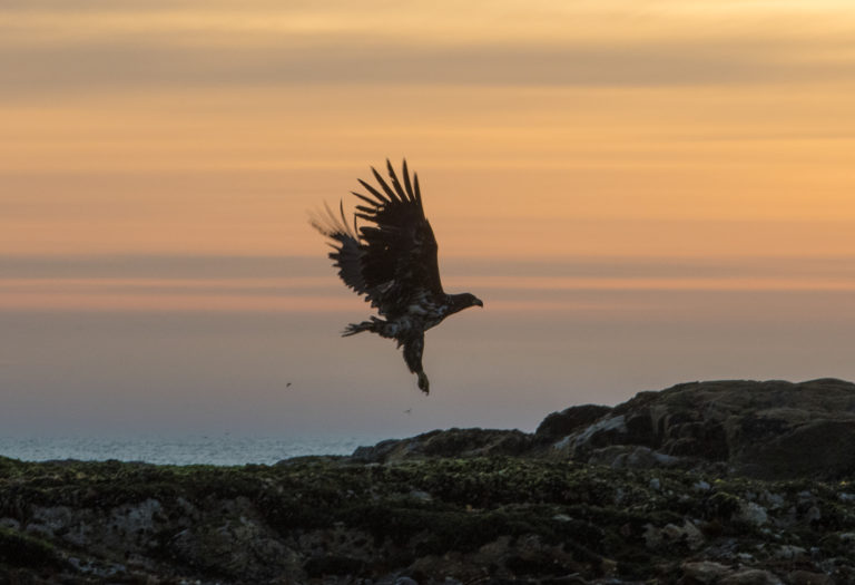 White-tailed eagle hunting at midnight © Marten Bril