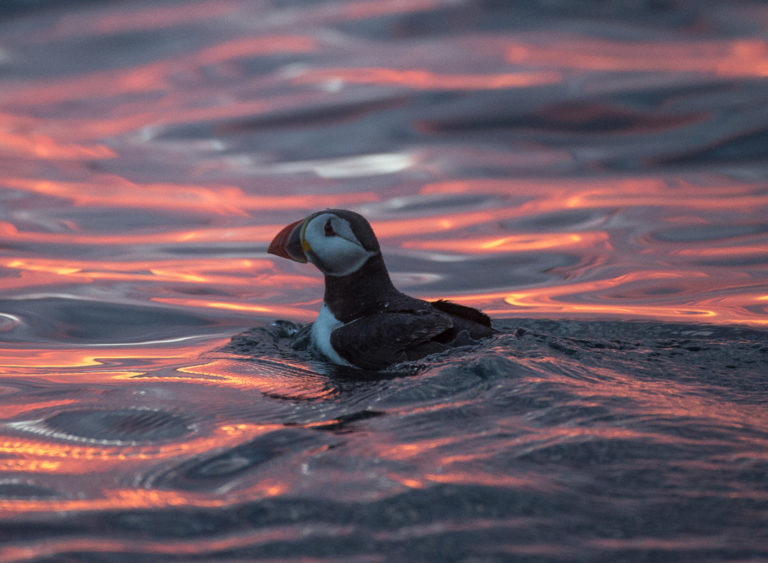 Puffin swimming in Midnight Light © Marten Bril