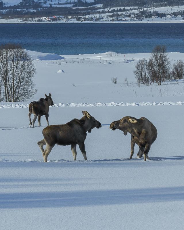 Her elges det ved Sortlandssundet, byen ligger på andre sida av sundet © Vesterålen Tours