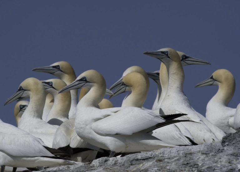 Gannets belong to the pelican family © Marten Bril