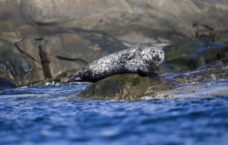 Seals feed on the same fish as the birds © Marten Bril