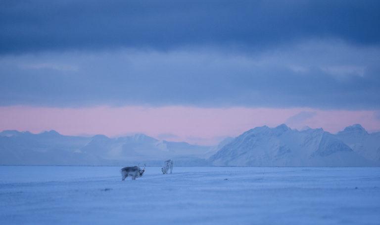 Svalbardreinen er kompakt og langhåret © Jan Nordvålen