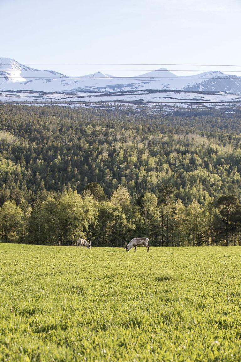Grønne marker langs Nordlandsbanen, og en og annen rein © Kathrine Sørgård