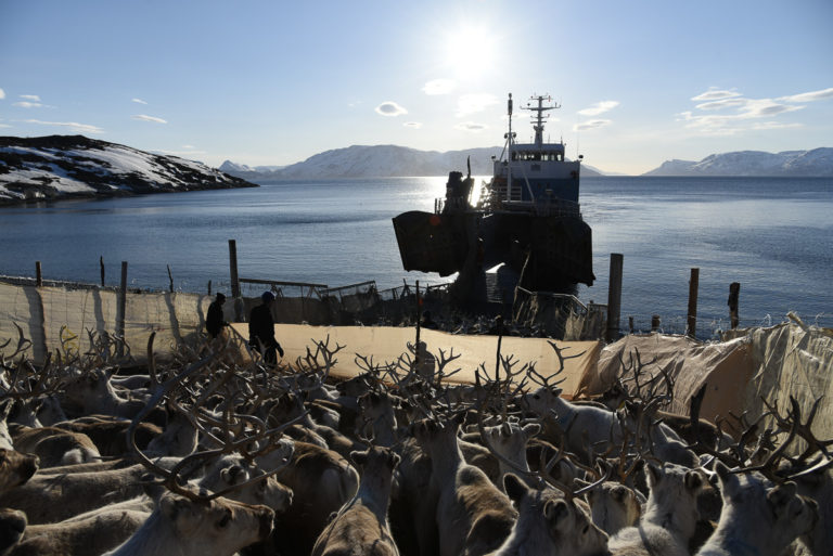 Boat transport about to happen. The reindeer are ready for boarding © Marit Helene Eira