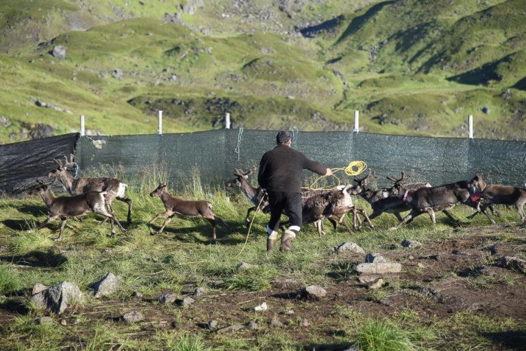 Herding the reindeer in the lands of summer © Marit Helene Eira