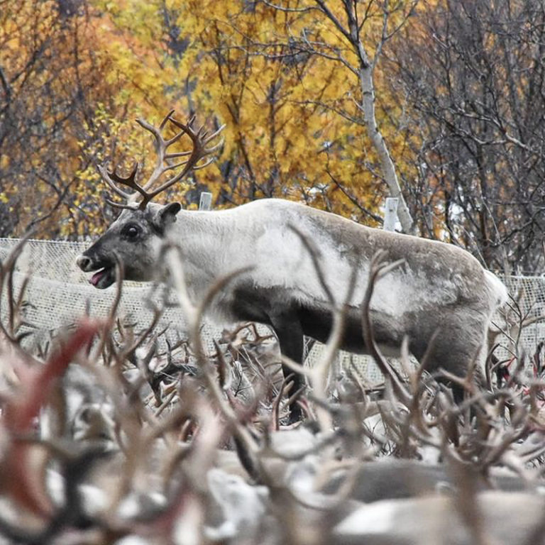 The reindeer are gathered together in the autumn. Some are going to the inland winter grazing lands, others are going somewhere else.. © Marit Helene Eira