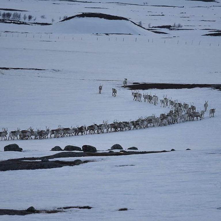 Much of the spring migration happens in the evening or at night, because the reindeer can walk on the icy crust formed by the night frost © Marit Helene Eira