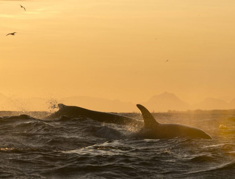 Knalhval og spekkhogger. Foto: Marten Bril