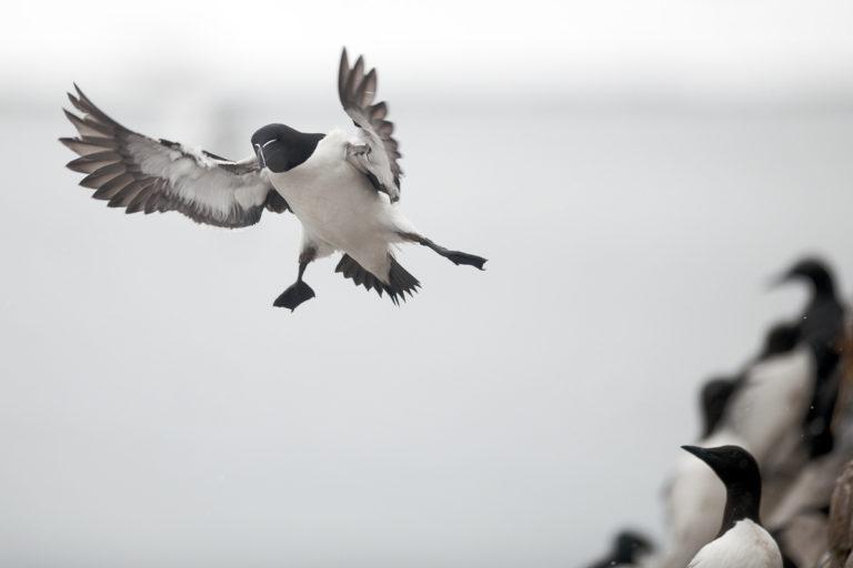 About to land © Bjarne Riesto / www.visitvaranger.no