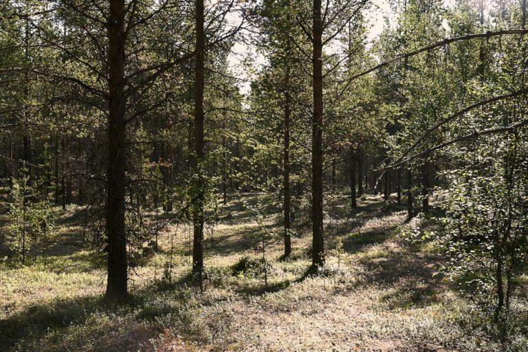 Pine forest © Emile Holba / www.visitvaranger.no