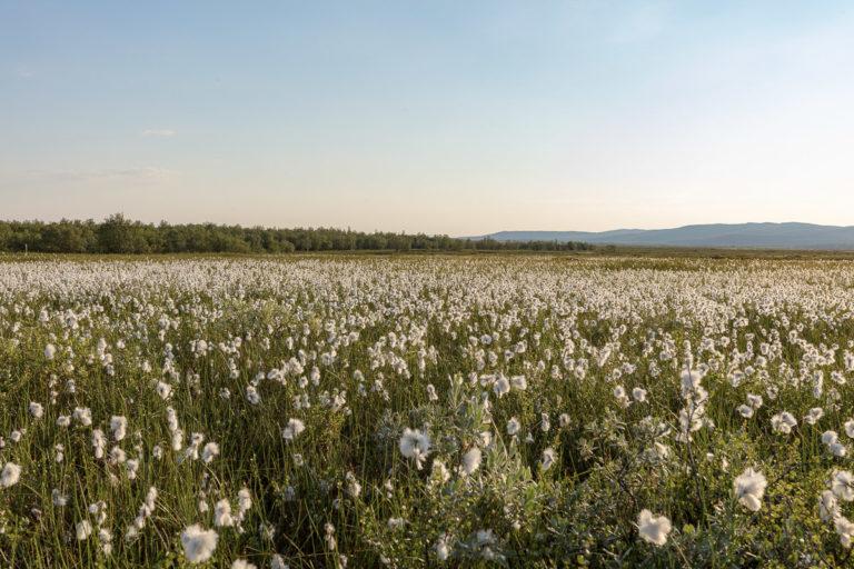 Cotton grass in the Kirkenes area © Fotoknoff / www.visitvaranger.no