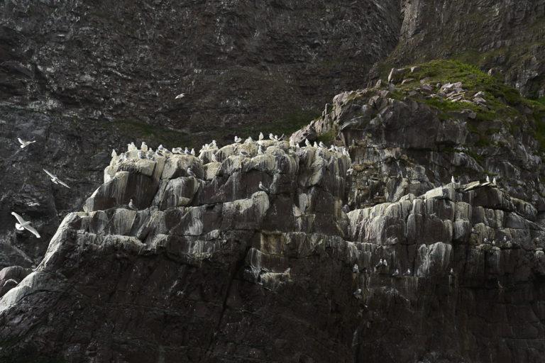 Bestanden på Syltefjordstauran har gått ned de siste årene, men fremdeles hekker mange hundre tusen par her, og krykkja er mest tallrik © Emile Holba/www.visitvaranger.no