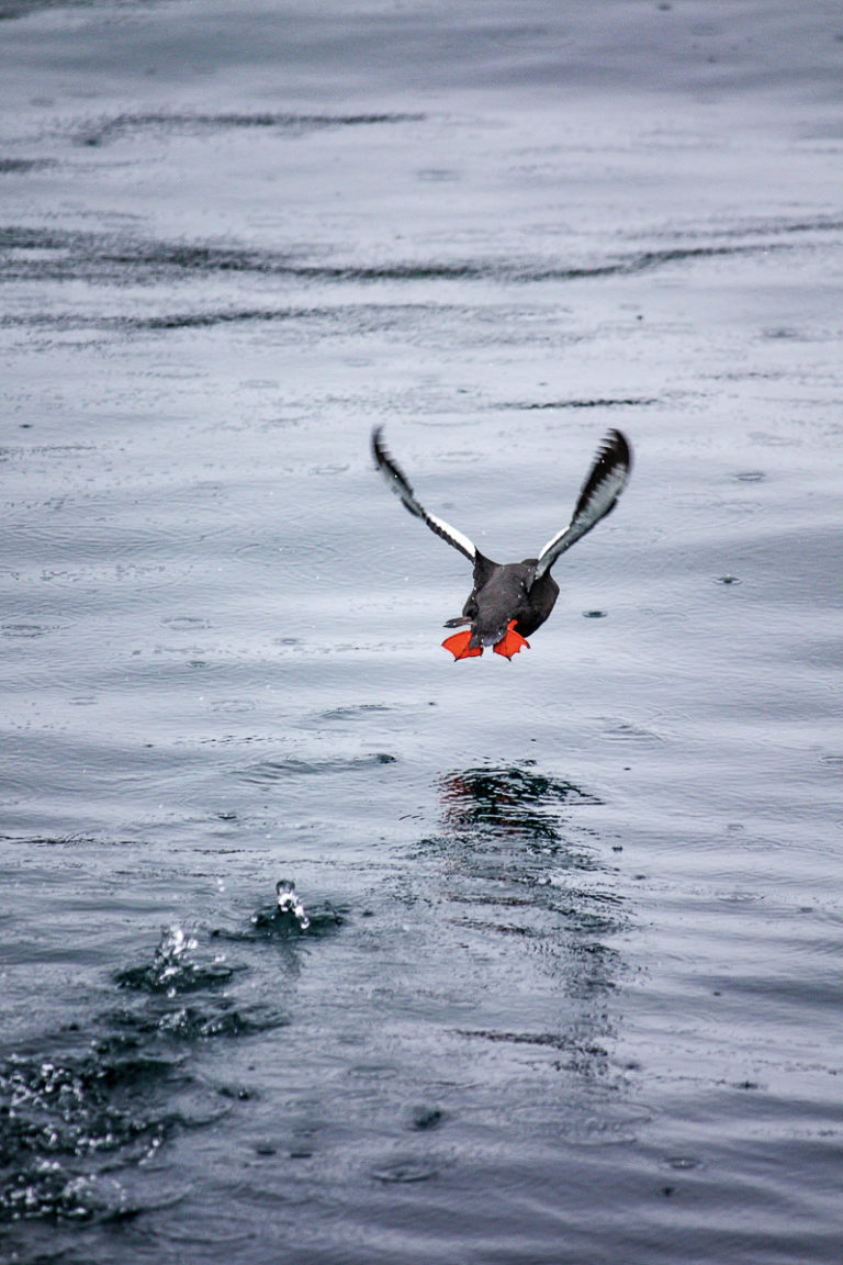 The red-legged oystercatcher taking off © Katelin Pell
