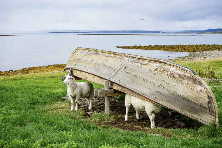 Sheep and wooden boats are part of a continuous use of Mortensnes over 10 000 years © Katelin Pell